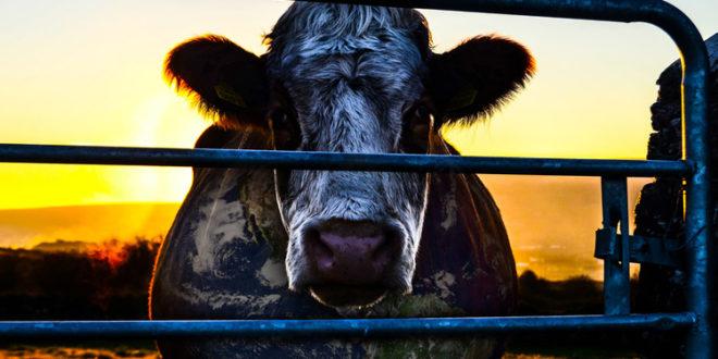 Cowspiracy: il documentario che ti farà odiare la carne